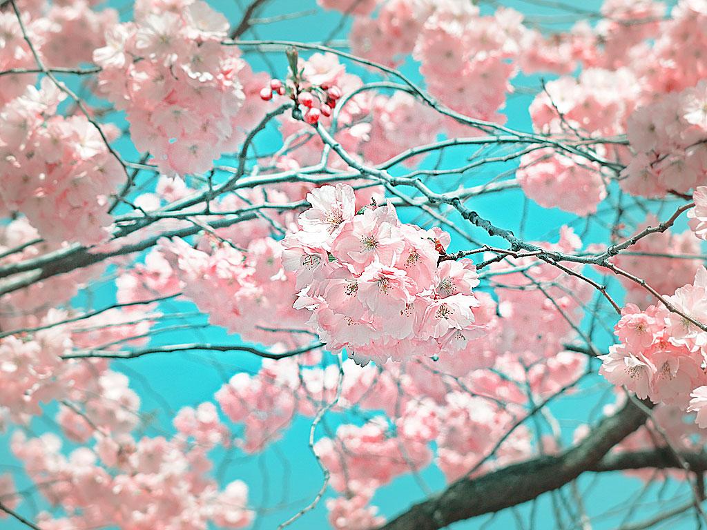 Sakura / Hanami 花見 i Kungsträdgården