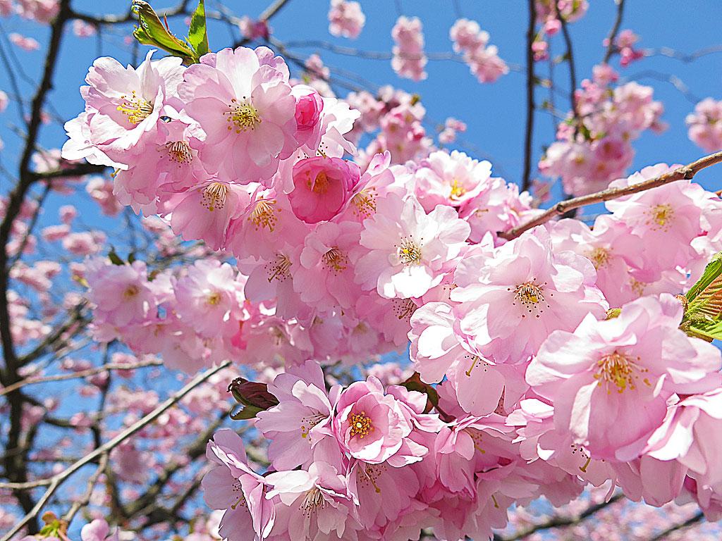 Sakura Mankai さくら満開 / Hanami 花見 i Kungsträdgården