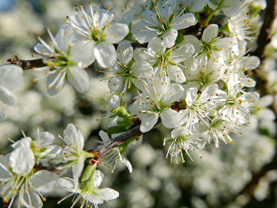 Det blommar i Stora Skuggan i Nationalstadsparken