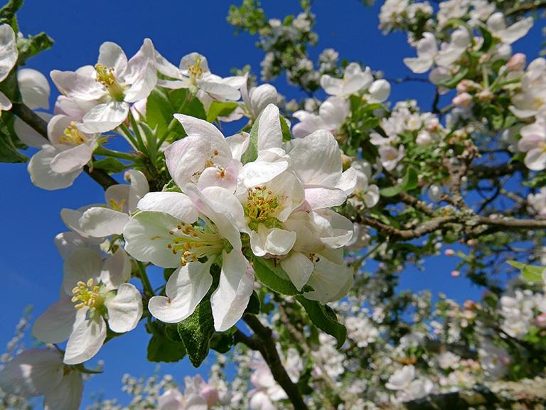 Äppelblom, Rosendals Trädgård