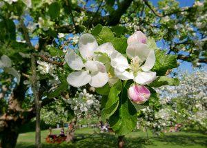 Äppelblom, Rosendal