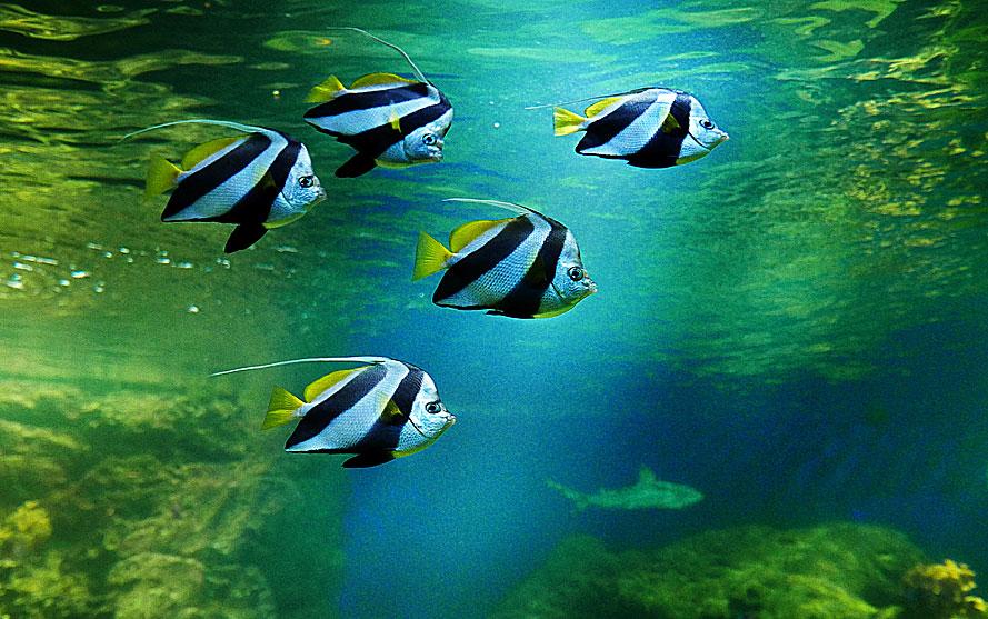 Vimpelfiskar och haj på Aquaria